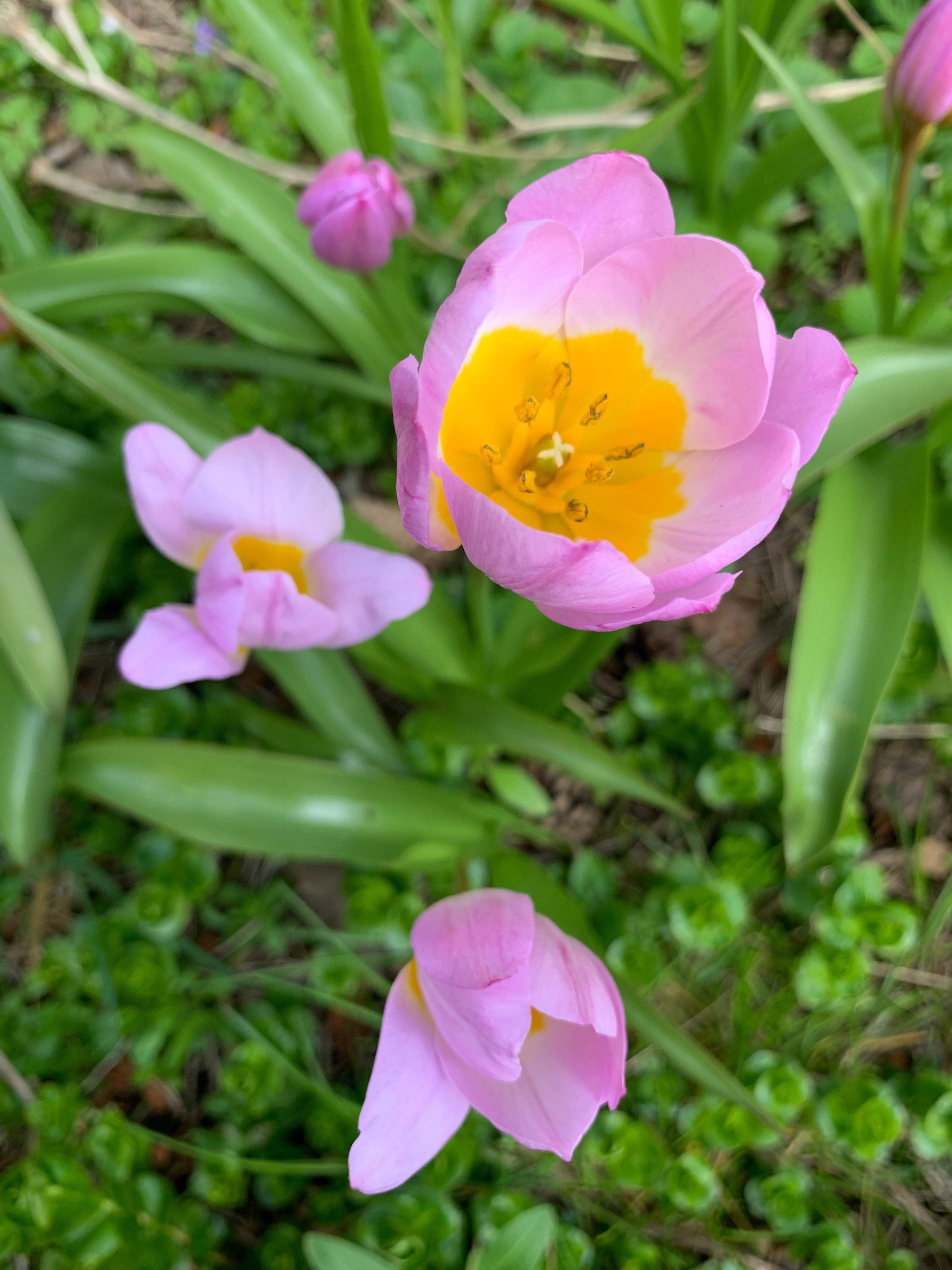 Looking down on a group of pink tulips eith egg yolk yellow centres